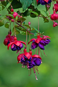 Fuchsia blossoms - Dunning Lake - Itasca County, MN