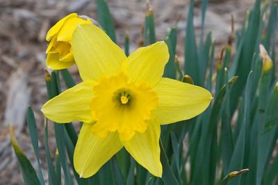 Daffodil - New Brighton, MN