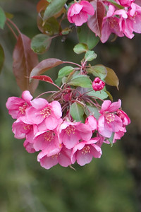 Crab Apple Blossoms - Park Point - Duluth, MN