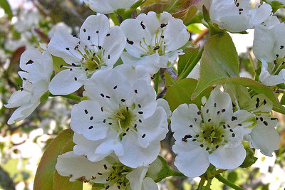 Apple blossoms - Apalachicola, FL