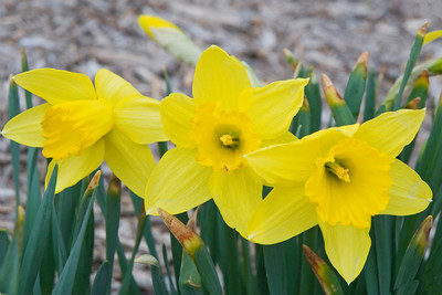 Daffodil - New Brighton, MN