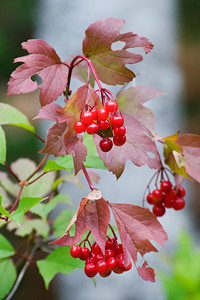 Berries - Cook County, MN