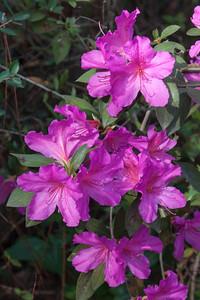Azalea - Gulf Coast Specimen Lab - Panacea, FL