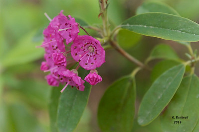 Ericaceae (Heath) Family