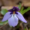 Birdfoot violet (viola pedata)<br /> April 27, 2017