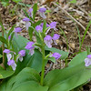 Showy orchis along the Chamberlain loop trail at Falls Ridge.<br /> April 29, 2017
