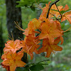 Usual orange coloration of Flame Azalea (Rhododendron calendulaceum).<br /> June 4, 2017.