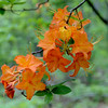 Unusual stripped orange coloration of Flame Azalea (Rhododendron calendulaceum).<br /> June 4, 2017.