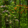 Mountain Laurel and Flame Azalea side by side along the War Spur Trail of the Mountain Lake Wilderness Area.<br /> June 4, 2017