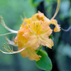 Yellow color of a Flame Azalea (Rhododendron calendulaceum) - focus on the pistil.<br /> June 4, 2017