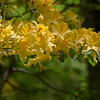 Yellow blossoms of Flame Azalea (Rhododendron calendulaceum).<br /> June 4, 2017