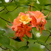 Unusual color variations in Flame Azalea blossoms along War Spur Trail.<br /> June 4, 2017