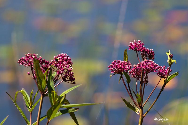 Swamp Milkweed