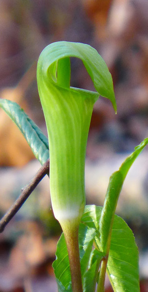 Jack In the Pulpit