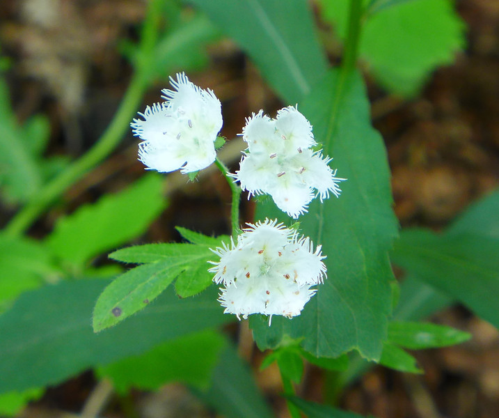 <h1>White Fringed Phacelia</h1> Found just off the Appalachian Trail near Yellow Gap/Roan Mountain area.   In some years, this area is COVERED with these little flowers, but this year (2013), they were awfully spotty.  May, 2013
