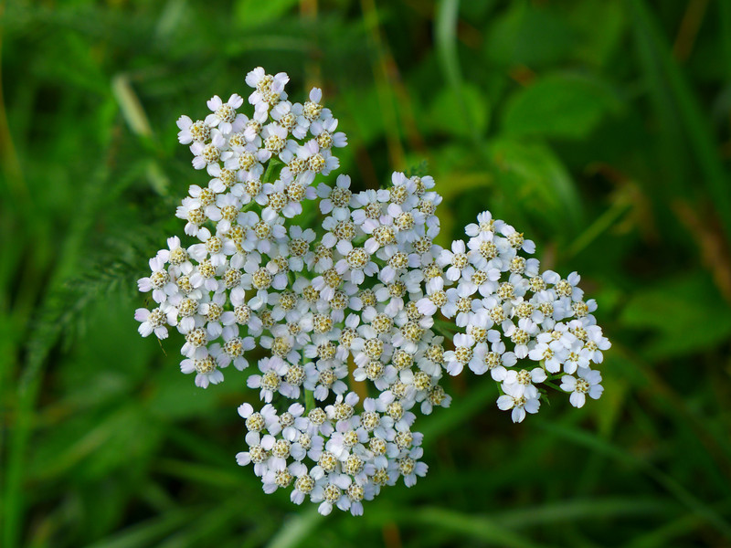 "<h1>Yarrow</h1> I see lots and lots of these along Roan Mountain, which lies right along the border between North Carolina and Tennessee.   <b><u><a href=""http://nc-hiker.smugmug.com/HikingTrips-6/Flowers/30424479_wzVb8t#!i=2622115235&k=cz7sFXb"">See this photo</a></u></b> for a view of this plant that includes its stem and leaves."