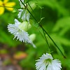 Starry Campion (Silene stellata)