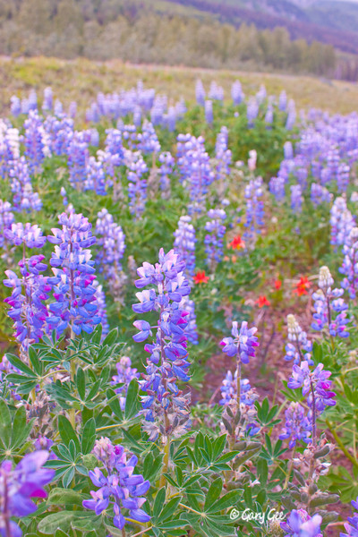 Arctic Lupine with a splash of Red Wild Columbine