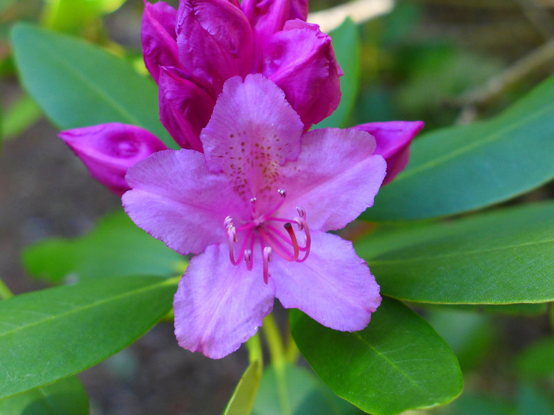 Rhododendron Blossom