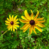 Black Eyed Susan (I think!)