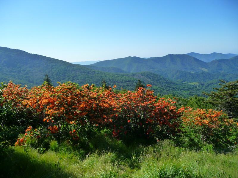 Flame Azalea on Roan Mountain
