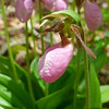 <h1>Pink Lady Slipper</h1> Found along the Appalachian Trail.  May, 2013.