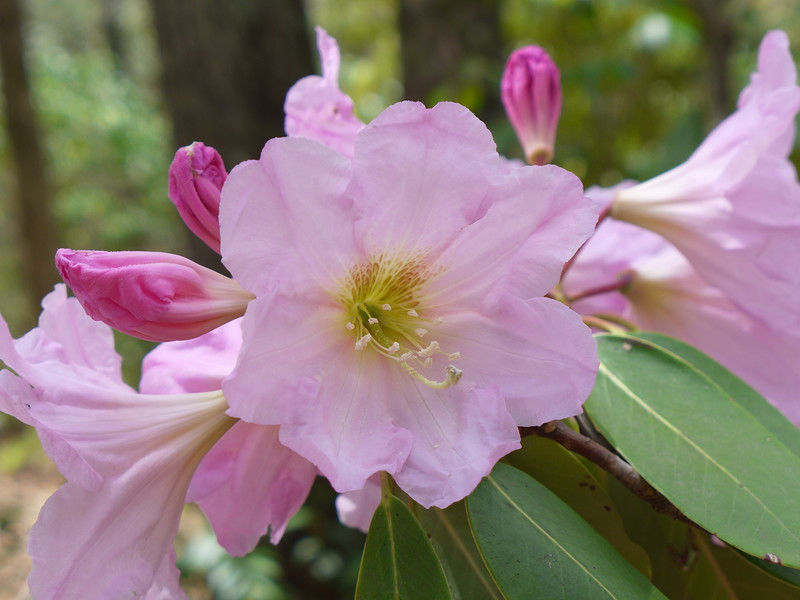 While not technically a wildflower (this is on a bush growing in my neighbor's yard), this pink azalea was too pretty not to include!!    <br /> <br /> May, 2015 in southern Transylvania County,  NC.