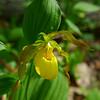 <h1>Yellow Lady Slipper</h1> Found along the Appalachian Trail.  May, 2013