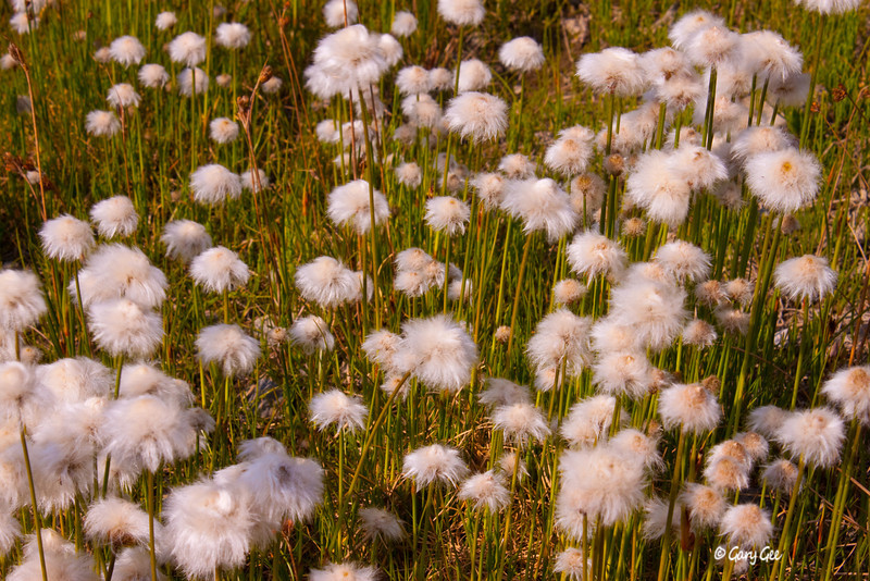 Tufted White Cotton Grass