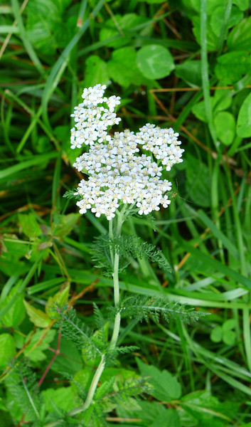"""<h1>Yarrow</h1> I see lots and lots of these along Roan Mountain, which lies right along the border between North Carolina and Tennessee.   July, 2013.    <b><u><a href=""""http://nc-hiker.smugmug.com/HikingTrips-6/Flowers/30424479_wzVb8t#!i=2622116257&k=8BP85XM"""">See this photo</a></u></b> for a close up of this plant's gorgeous blooms."""