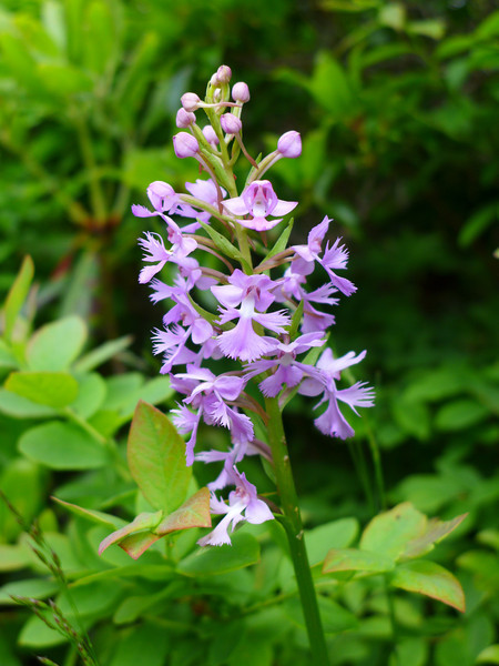 <h1>Purple Fringed Orchid</h1> Seen along the Mountains To Sea Trail in June, 2013, in North Carolina.  This was seen along the stretch of trail between Craggy Gardens and Walker Knob Overlook (formerly known as Balsam Gap).