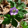 <h1>Wild Geranium</h1> Found along Groundhog Trail, in Madison County, NC.  April, 2013.