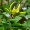 <h1>Trout Lily</h1> Found along the Appalachian Trail, on Roan Mountain.  May, 2013