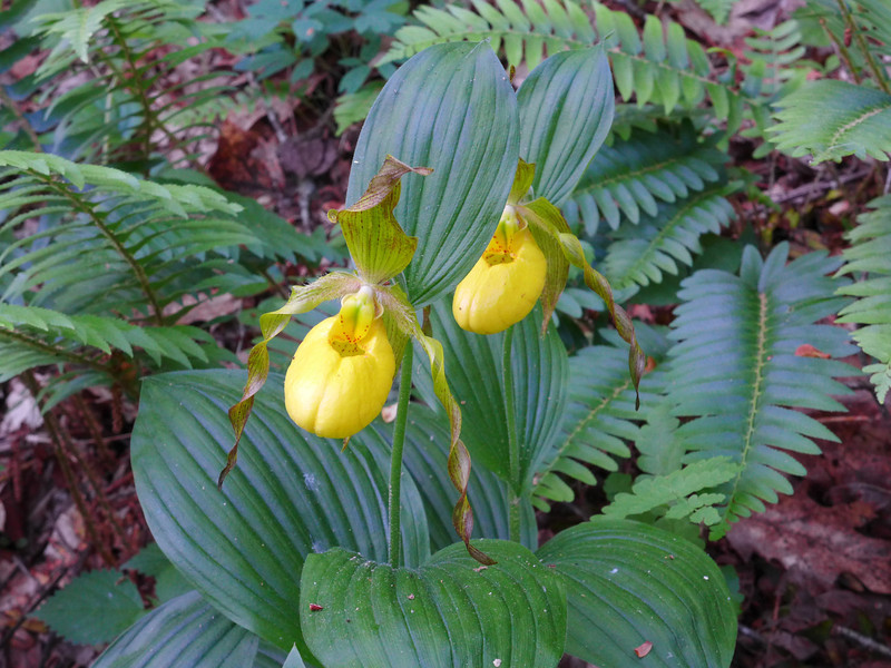 <h1>Pair of Yellow Lady Slippers</h1>Found in southern Transylvania County.  May, 2014