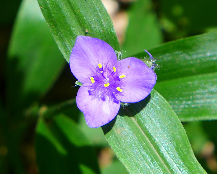 <h1>Spiderwort</h1> Seen along the Appalachian Trail near Yellow Gap in late June, 2013.
