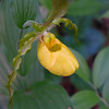 <h1>Yellow Lady Slipper</h1>Found in southern Transylvania County.  May, 2014