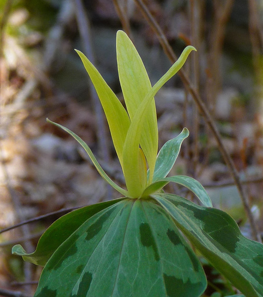 <h1>Yellow Wakerobin Trillium</h1> Found along Groundhog Trail in Madison County, NC.  April, 2013.