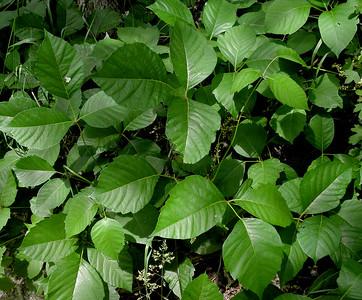Ivy, Poison