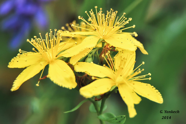 Common St. John's-Wort, Hypericum perforatum  Audley Recreation Centre,  Ajax, Ontario  An introduced species to and invasive species to Durham, Ontario  Identification confirmed by iNaturalist