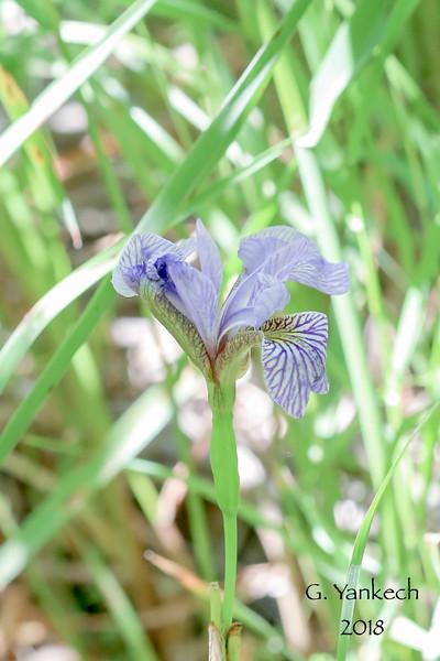(Northern) Blue Flag Iris, Iris versicolor<br /> <br /> Thunder Bay District, Ontario