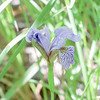 (Northern) Blue Flag Iris, Iris versicolor<br /> <br /> Thunder Bay District, Ontario