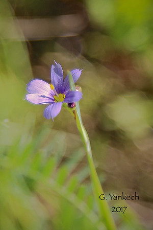 (Strict) Blue-eyed Grass