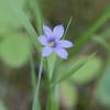 (Strict) Blue-eyed Grass, Sisyrinchium momtanum<br /> <br /> Thunder Bay District, Ontario