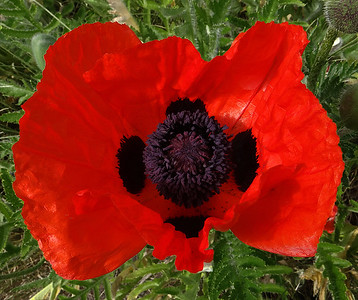 Let There Be Poppies!