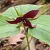 Red Trillium, Trillium erectum