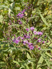 Tall Ironweed {Vernonia altissima} <br /> Evansville, IN <br /> © WEOttinger, The Wildflower Hunter - All rights reserved<br /> For educational use only - this image, or derivative works, can not be used, published, distributed or sold without written permission of the owner.
