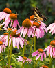 Swallowtail on Cone Flower <br /> Evansville IN <br /> © WEOttinger, The Wildflower Hunter - All rights reserved