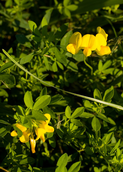 Birdsfoot Trefoil {Lotus corniculatus} <br /> Fabaceae <br /> Plainfield, IL <br /> All rights reserved<br /> For educational use only - this image, or derivative works, can not be used, published, distributed or sold without written permission of the owner.