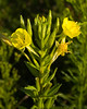 Evening Primrose {Oenothera Biennis} <br /> Plainfield, IL <br /> All rights reserved<br /> For educational use only - this image, or derivative works, can not be used, published, distributed or sold without written permission of the owner.