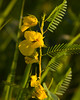 Partridge Pea {Chamaecrista fasciculata}<br />  Plainfield, IL <br /> All rights reserved<br /> For educational use only - this image, or derivative works, can not be used, published, distributed or sold without written permission of the owner.